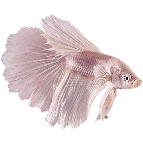 Male White Opal Bettas For Sale Order Online Petco Betta Siamese Fighting Fish Betta Fish