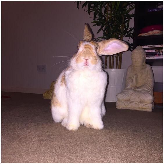 SO BRIGHT  ouch #flash #bunniesofig #bunnyaccount #bunnylover #bunnylove #rabbitsofig #rabbits #rabbitlover #petfeed #petsofig #petstagram #fabbunnies #weeklyfluff #instabunny#instarabbit #bunny #bunnies #bunnylove  #rabbitaccount #instabunny #instarabbit by burgtherabbit