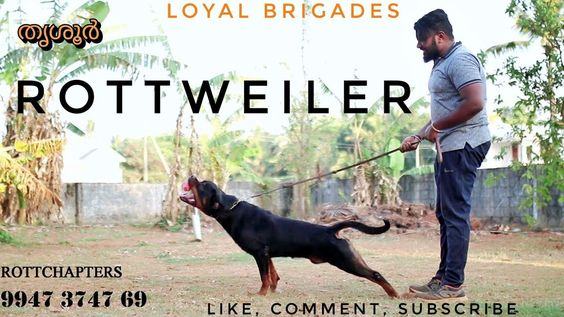 Rottweiler Info Rottchapters Kennel Training Centre Kerala Loyal Brigades Rottweiler German Dog Breeds Rottweiler Facts