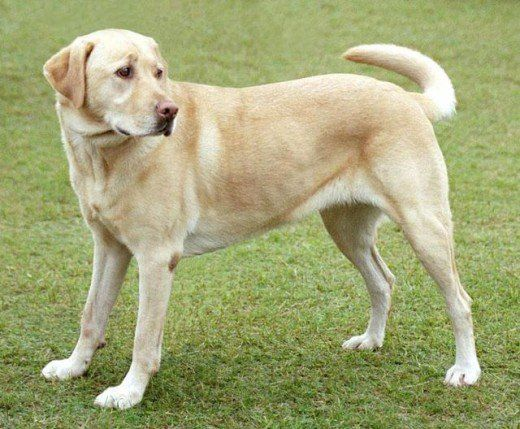 Non Shedding Dogs A List Of Small Mid Sized And Large Dogs That Don T Shed Labrador Retriever Popular Dog Breeds Dog Breeds