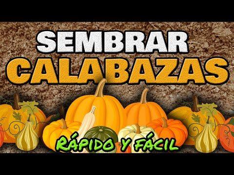 Cómo Sembrar Y Cultivar Calabaza O Zapallo Rápido Y Fácil Youtube Cultivo De Calabaza Plantar Calabazas Jardín De Productos Comestibles