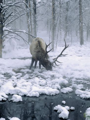 Elk-Bull Grazing in Winter,