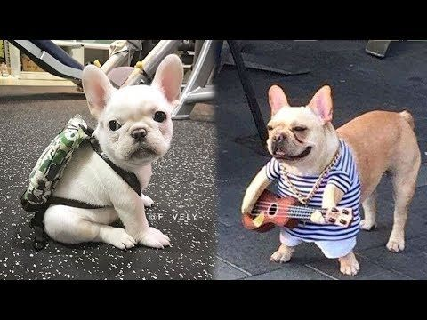 Funny And Cute French Bulldog Puppies Compilation 1 Most Funny