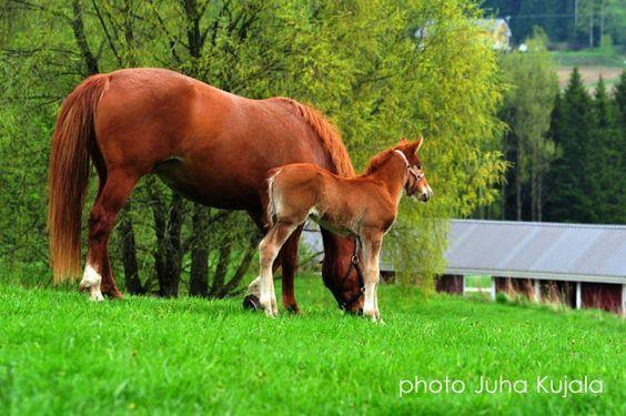 finnhorse foal with mom suomenhevosvarsa kesä