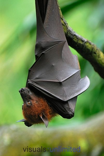 Flying Fox - Thomas Marent - love his work.