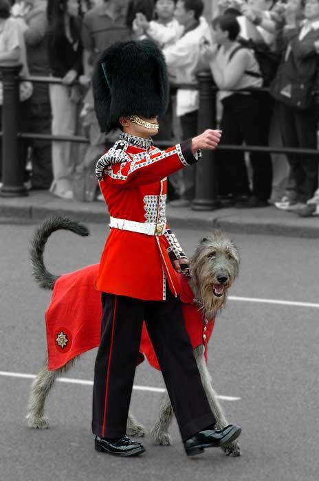 Irish Wolfhounds - gotta love'em!