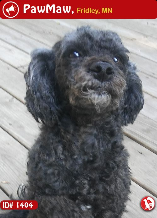 Help Benny Is Lost Toy Poodle Training Poodle Puppy Standard