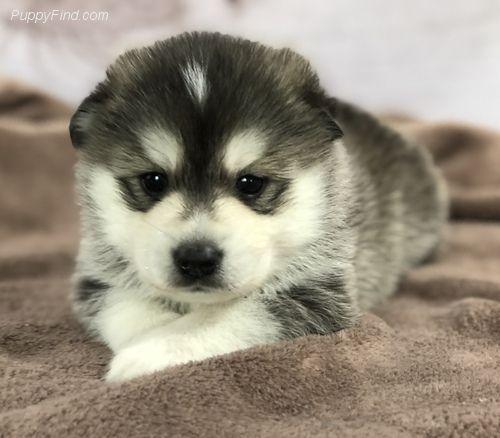 Find Your Perfect Puppy At Puppyfind Com Browse Through Breeders