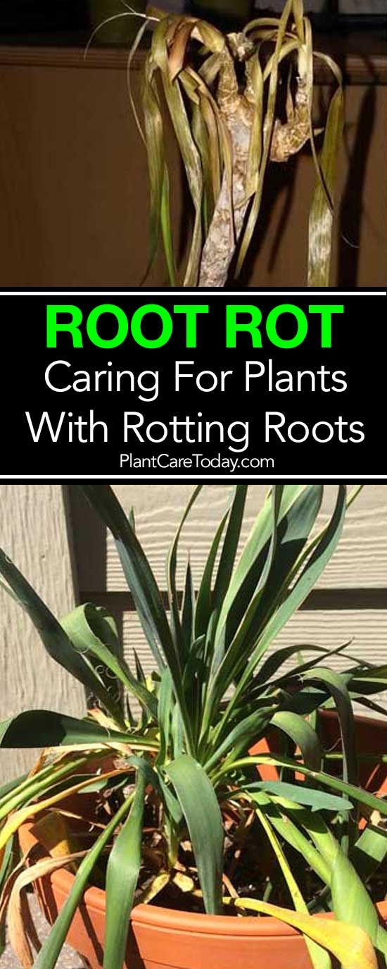 Root Rot Treatment How To Fix Root Rot Causes Symptoms Plants Plant Diseases Types Of Herbs