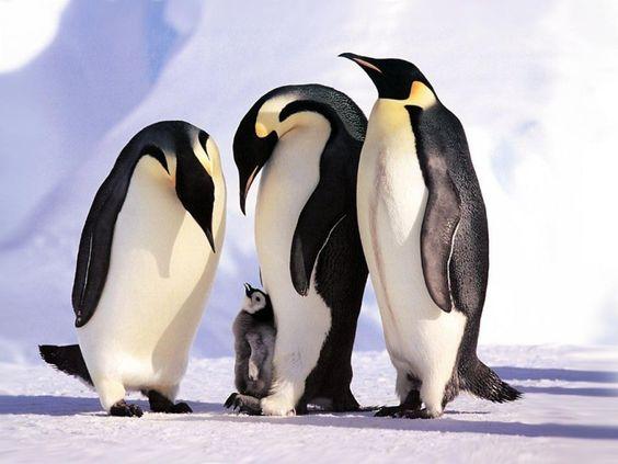 Calentamiento global pone en peligro a los pingüinos emperador