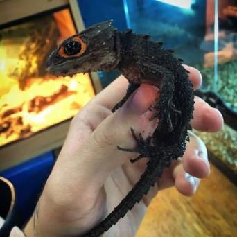 milk frogs? - Reptiles, Rehome Buy and Sell in the UK and Ireland   Preloved