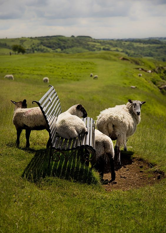 Sheep chillaxing
