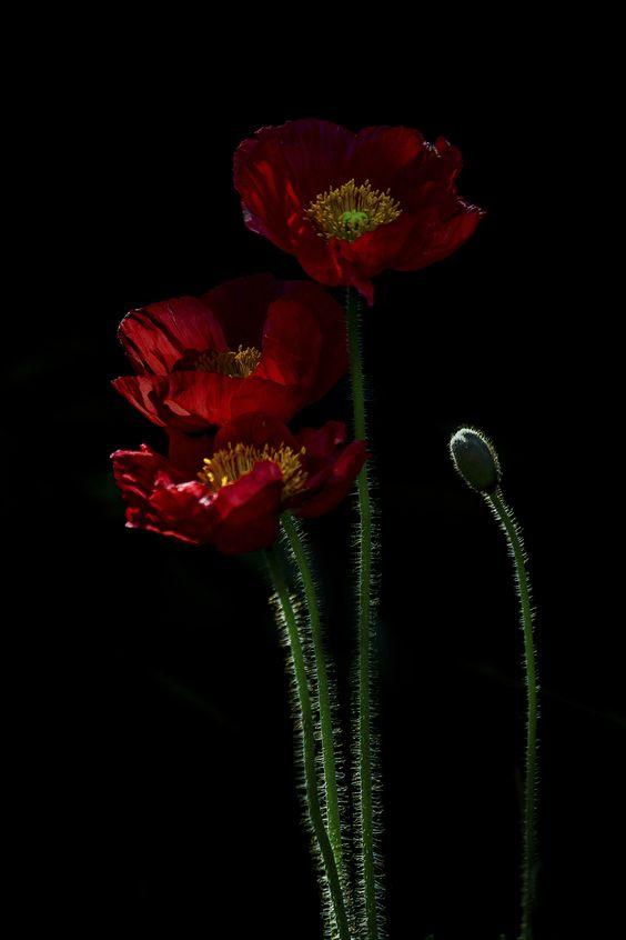 poppies at night by susan harral _n 500px... #dark #flowers #garden #poppies #red #spring