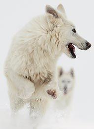 Berger Blanc Suisse /Weisser Schweizer Schäferhund/ White Shepherd