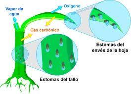 La Excrecion En Plantas Es Una Funcion Que Realizan Para Sacar Sustancias Que Luego Pueden Ser Util Fotosintesis Y Respiracion Fotosintesis Respiracion Celular