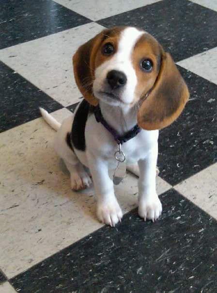 Beagle puppy Más