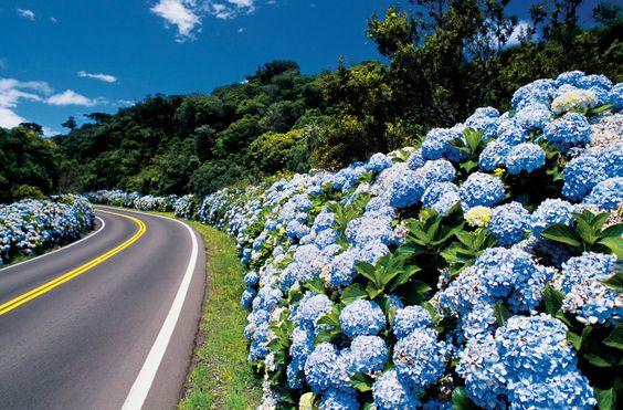 Amo... o caminho pra Gramado - RS é todo cheio de hortências... lindo d+...