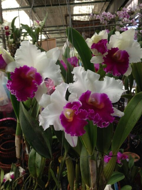 Blc Pathuma Cattleya Orchids Orchids Orchid Flower Cattleya Orchid