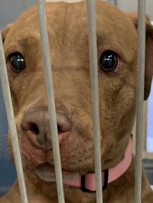 Adopt Loving Glenda On Adoption Teacup Puppies Pitbull Terrier