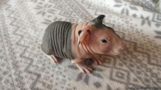 Image Result For Guinea Pig Newborn Babies Skinny Pigs - Ludwig the bald guinea pig is winning the internets hearts