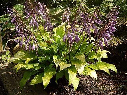Gaelic Roots | Hosta varieties, Hostas, Plants