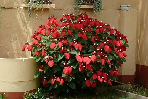 26 Flowers That Bloom All Year Round Permanent Flowering Plants In 2021 Planting Flowers Pool Landscaping Plants Plants