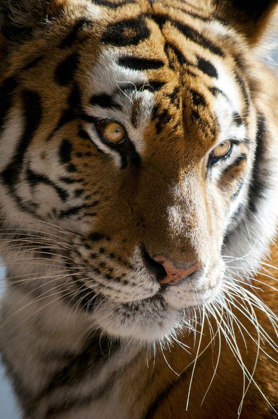 @pinthestars Tiger