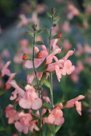 Salvia 'California Sunset' (California Sunset Sage) more salvia info here: http://www.plantdelights.com/Salvia-Perennial-Sages-for-the-Garden/products/527/