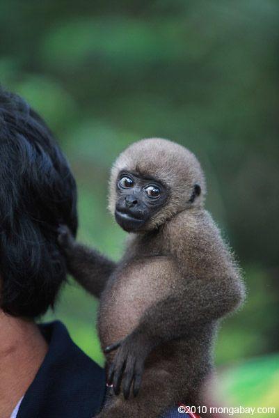 Mono choro común en un centro rehabiltiation para los animales una vez que trata para el comercio de mascotas-Fotógrafo: Rhett Butler  Google+ ,   Mongabay.com fotografiado en: , Parque Nacional Amacayacu Colombia