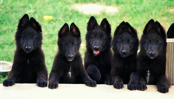 Beautiful German Shepherds!