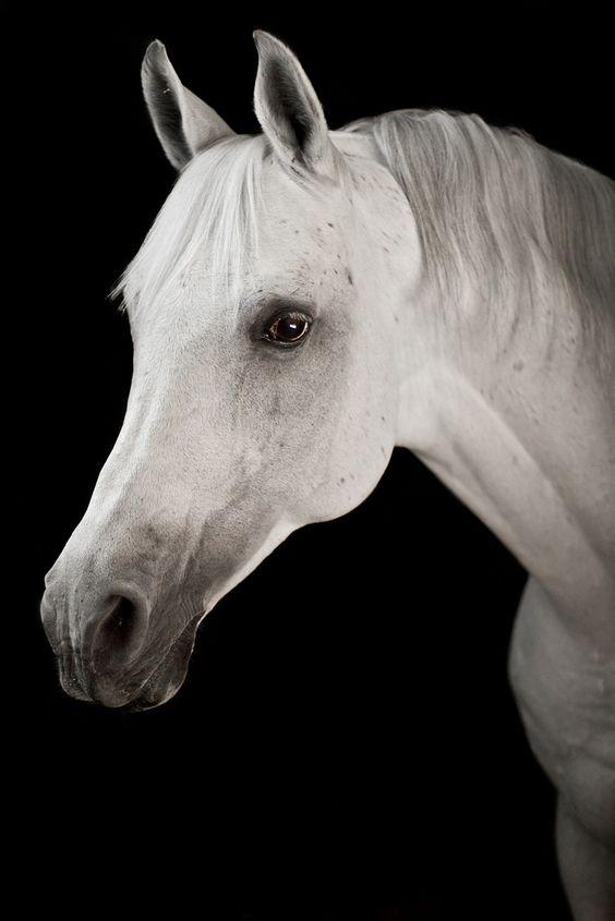 Model Face... Arabic   by Raphael Macek - Horse Photography