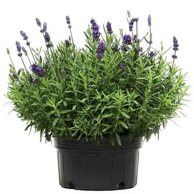 Looking for Lavender Lavance Deep Purple Seeds? Find it at Harris Seeds as well as many other varieties of Lavender.
