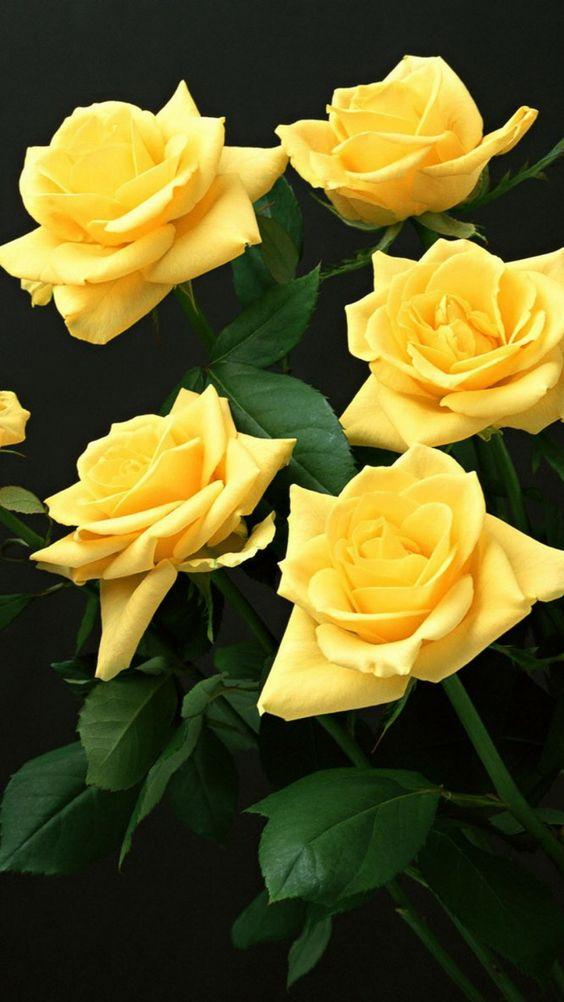 roses, flowers, flower, yellow, white