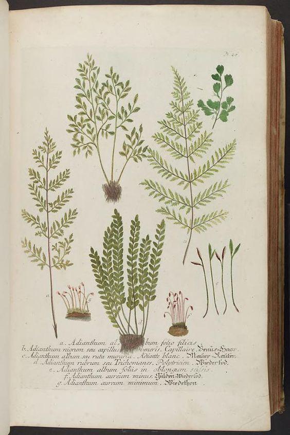 Phytanthoza iconographia, sive, Conspectus aliq...
