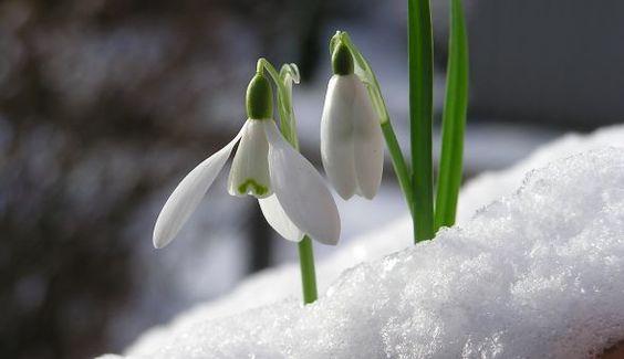 vintergækker
