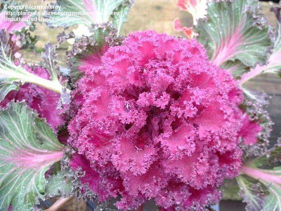 Cole Brassica oleracea var. acephala
