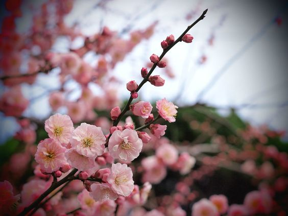 Tree, apricot, branch, pink, flowers, petals, buds, close up, blurred vektor - ForWallpaper.com