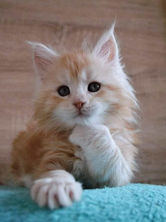 I M Thinking About It Cute Animals Cute Cats Kittens Cutest