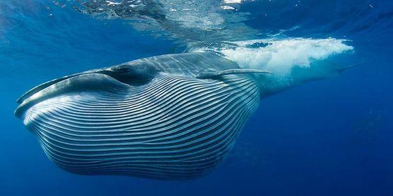 Noch immer sind Wale bedroht – die sanften Riesen brauchen mehr Schutz. Der WWF hat es sich zur Aufgabe gemacht, den Schutz der bedrohten Walarten in allen Weltmeeren massiv voranzutreiben. Helfe jetzt den Meeressäugern und werde Pate: http://bit.ly/IrHxX7 © natureplcom / Doug Perrine / WWF:
