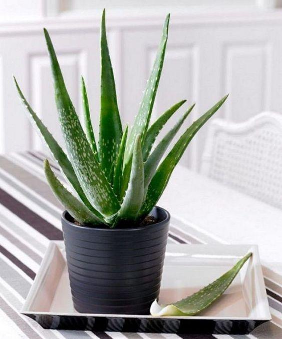 Best Indoor Plants for clean air, best indoor plants for low light, large indoor plants, indoor plants for sale, planter ideas, grow-aloe-vera-in-bedroom-for-restful-sleep (plants in the house aloe vera)