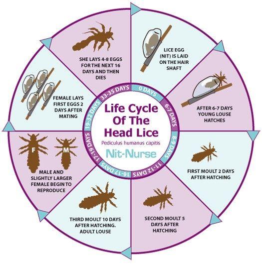Life cycle of the head lice. #nits #headlice  #lifecycle
