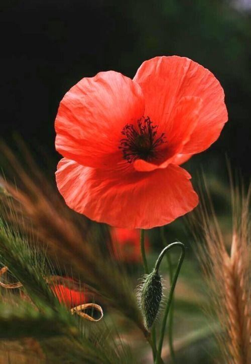 33 Sehr Sehr Blumenfotos Fotografie Blumen Mohn Malerei