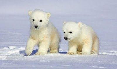 Baby polar bears are so adorable!