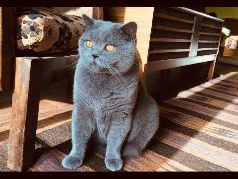 My Gorgeous British Blue Shorthair Boy Named Hugo Birmingham West Midlands Pets4homes British Blue Cat British Blue Kitten British Shorthair