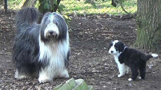Bearded Collie Puppies 15 February 2017 Bearded Collie Puppies Collie Puppies Bearded Collie