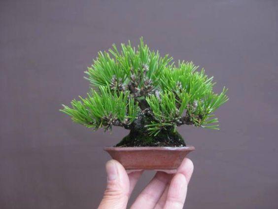 Bäume, Bonsai and Kiefer on Pinterest