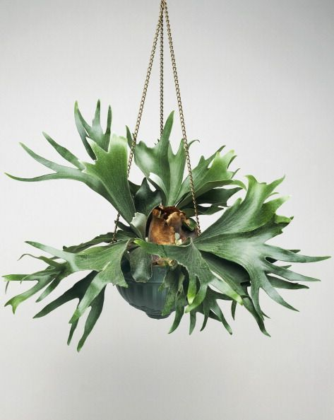 Staghorn fern hanging in a basket, perfect indoor plant for low light conditions.