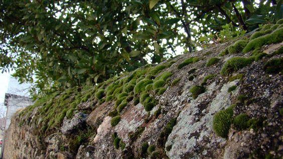Musgo sobre muro de piedra granítica.