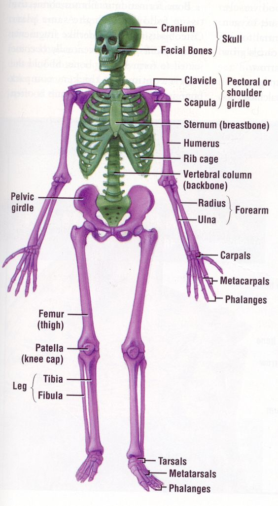 have you wondered about the human skeleton, here you will find all, Skeleton