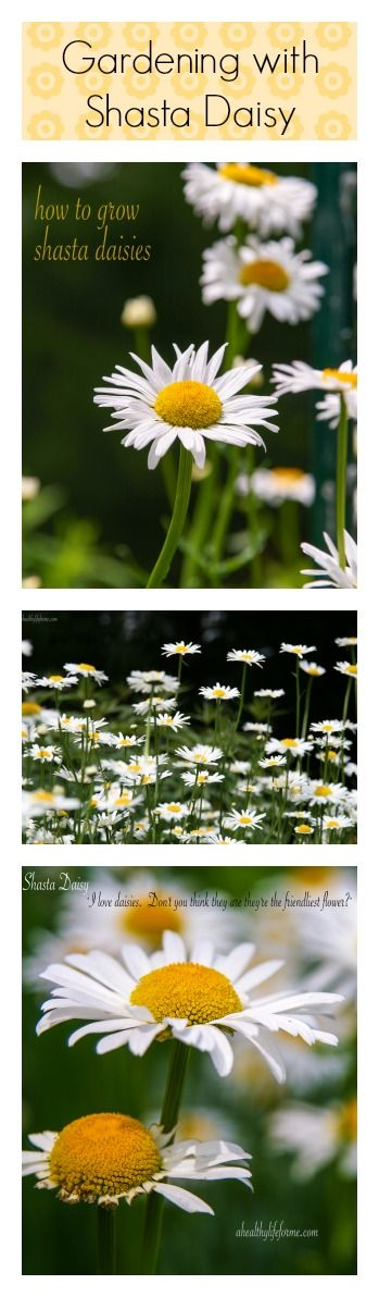 How To Grow Shasta Daisy.  Learn how to grow these beautiful and easy to care for flowers in your garden.